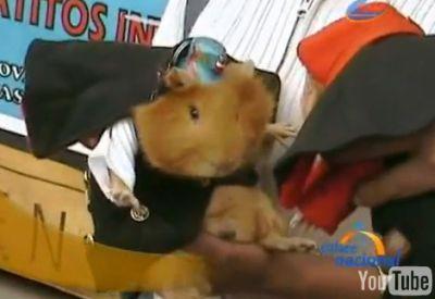 Meerschweinchen-Umzug in Huancayo. Bild: INFOREGION / Youtube.