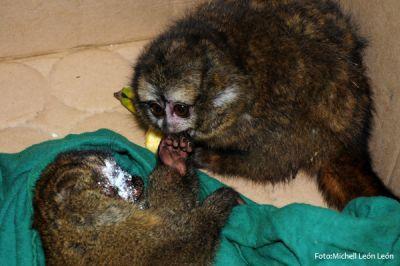 Die nachtaktiven Anden-Affen. Foto: Michell León.