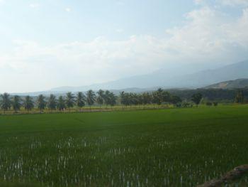 Reisfeld und Palmen in der Provinz Utcubamba. Foto: D. Raiser / INFOAMAZONAS.